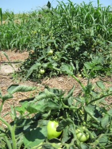 Some of the tomato crop.