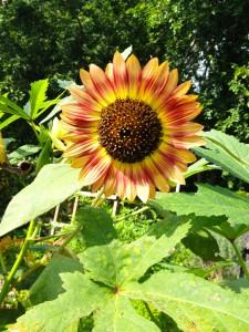 Beautiful Red Sunflower