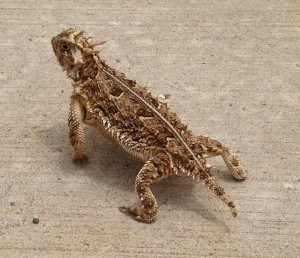 Texas Horned Lizards are a threatened species, but there are many returning to the Lubbock Lake Landmark.
