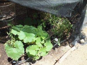 Winter squash & Pea's