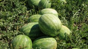 Rocky Ford Melons