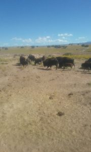 Feeding the pueblos bison
