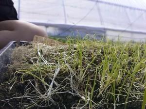 Leeks we began planting