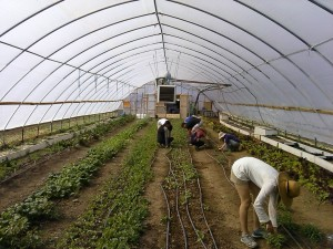 Working in the greenhouse with other volunteers