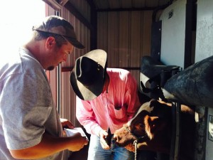 I was given the oppritunity to nose print and tattoo some of the cattle. Great experience.