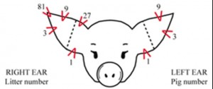 Questions about ear notches are really common during swine shows, yet many don't know how to read ear notches. This question can be what makes or breaks you during a showmanship class.