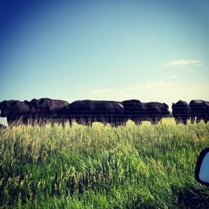 Dan's breeding bulls.