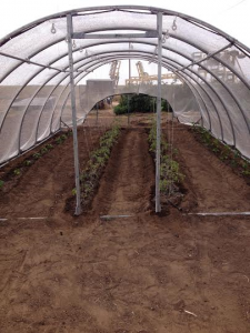 Tomato and Pepper under hoop house