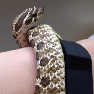 Richie the Hognose snake - This type of snake is native to the West Texas region. Richie lives at the Science Spectrum in Lubbock and teaches visitors about native Texas reptiles.