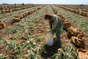 TAFT, CA - 10JUNE06 - Valente Guzman Santiago, an immigrant from Nochixtlan, Oaxaca, tops onions early in the morning.  Onion harvesters work in the morning and evening, and don't work during the early afternoon when the heat is unbearable. Copyright David Bacon