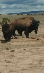 At the bison range